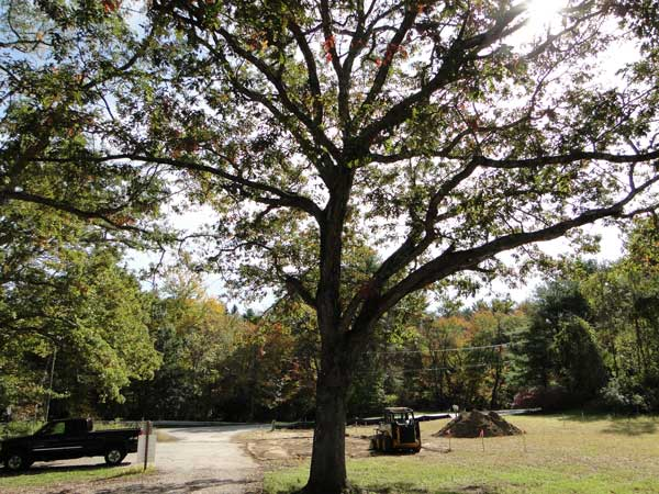 the great old oak will remain though many invasives will soon be pulled from the WPWA campus